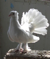 Pure White Indian Fantail Pigeon