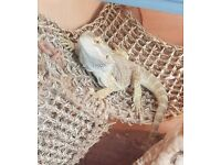 Famale bearded dragon 8mth old
