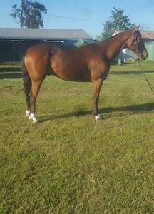 Lovely 3 yr old Stock Horse Toowoomba Toowoomba City Preview