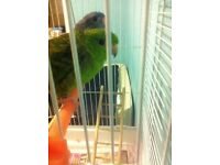 Linolated parakeets and zebra finches for sale (approx 14 months old),