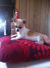 chihuahua puppy for sale Crescent Head Kempsey Area Preview