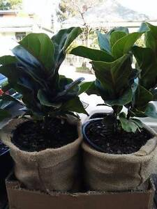 **Fiddle Leaf Fig Lyrata + Bambino + terreriums! Leichhardt Leichhardt Area Preview