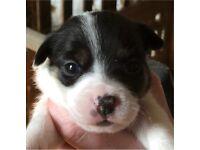 2 x little girls left Jack Russell puppies