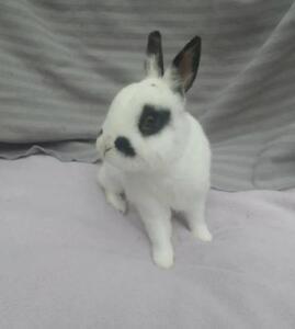 "Adult Male Rabbit - Dwarf: ""Maurice"""