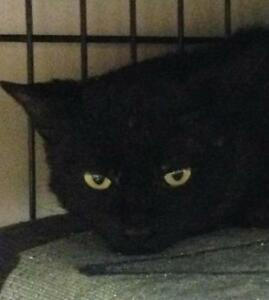 "Young Male Cat - Domestic Short Hair-black: ""O'Doull"""