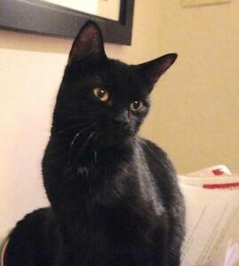 "Adult Female Cat - Domestic Short Hair-black: ""Breeze"""