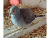 Male Diamond dove and cage