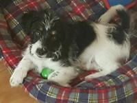 3 month old jack russel/ colly cross