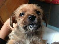 Jack russell x westi pups for sale