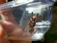 Young Trinidad chevron tarantula
