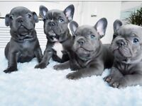 KC reg French bulldog one of a kind