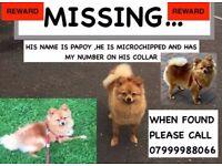 MISSING POMERANIAN DOG - PLEASE HELP...