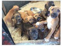 Bullmastiff cross Labrador puppies