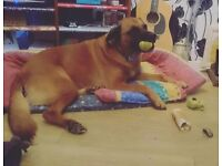 German shepherd x boxer dog free to a good home