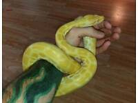 Female Pearl Burmese Python With 7ft Viv