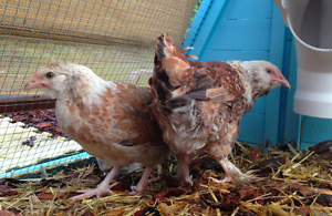 Pullets - two for $40 - young female faverolles chickens Harrison Gungahlin Area Preview