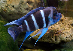 A Frontosa Cichlid group for sale