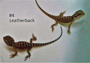 leather back bearded dragons