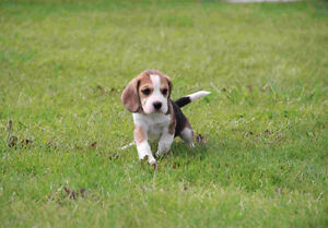 Chiot beagle puppy for loving family