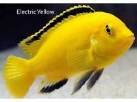Electric Yellow Cichlids for sale