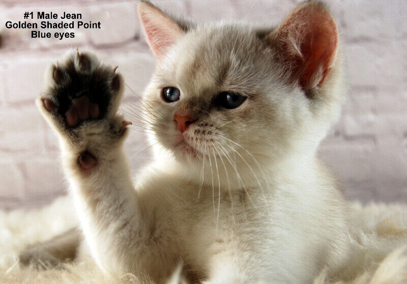 British Shorthair Golden Lynx Pointed (Blue eyes) kittens | Cats
