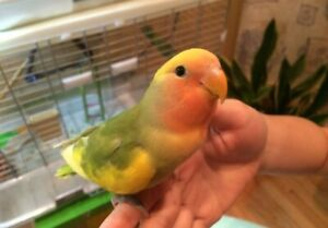 Lovely, super tame green and yellow pied baby lovebird