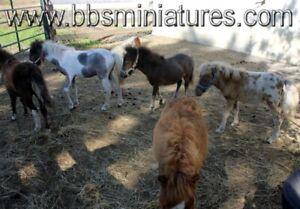 De vrai petites poupées, poulains pouliches mini, pas  des poney