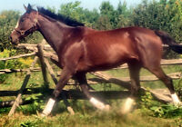 STUNNING PROFESSIONALLY TRAINED THOROUGHBRED MARE FOR SALE