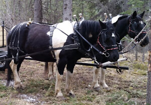 Wanted:  Black and White Tobiano Horse