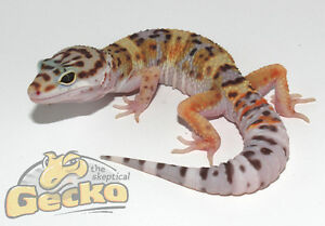 Normal Leopard Geckos (1 Male and 1 Female)