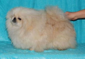 White and Cream  Pekingese puppies and Adult male