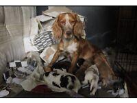 Family Cocker spaniel puppies