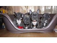 Solid Blue French Bulldogs Puppies fos sale