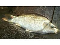 Beautiful ghost carp approximately 20 inches