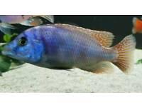 Placidochromis Milomo malawi cichlid