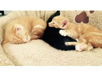 3 Male Kittens looking for a new home