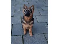 Beautiful German Shepherd Dog
