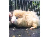 Golden beige Guinea pig for sale