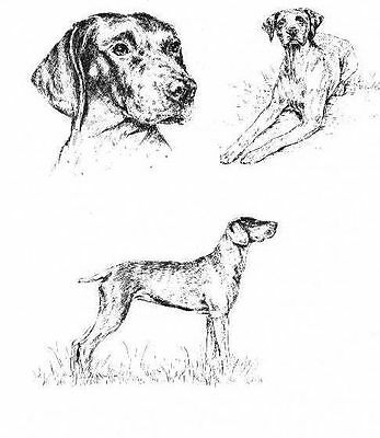 German Shorthaired Pointer - 1963 Vintage Dog Print - Matted