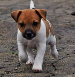 Beautiful Female Jack Russell Pups