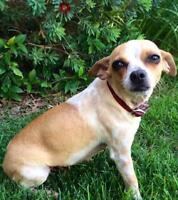 "Young Female Dog - Chihuahua: ""Macy"""