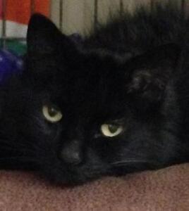 """Senior Female Cat - Domestic Short Hair-black: """"Kokonut"""""""