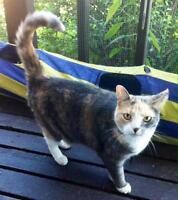"""Adult Female Cat - Domestic Short Hair: """"Meow Meow"""""""