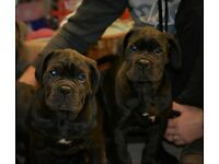 Pure breed cane corso pups