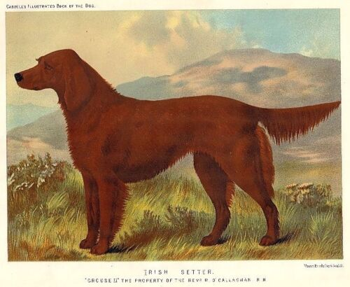 Framed Antique Print of Irish Setter from Famous Cassell