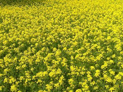 1000 semi di senape - pianta aromatica Sinapsis species o Brassica species-
