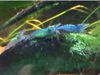 Blue shrimp!