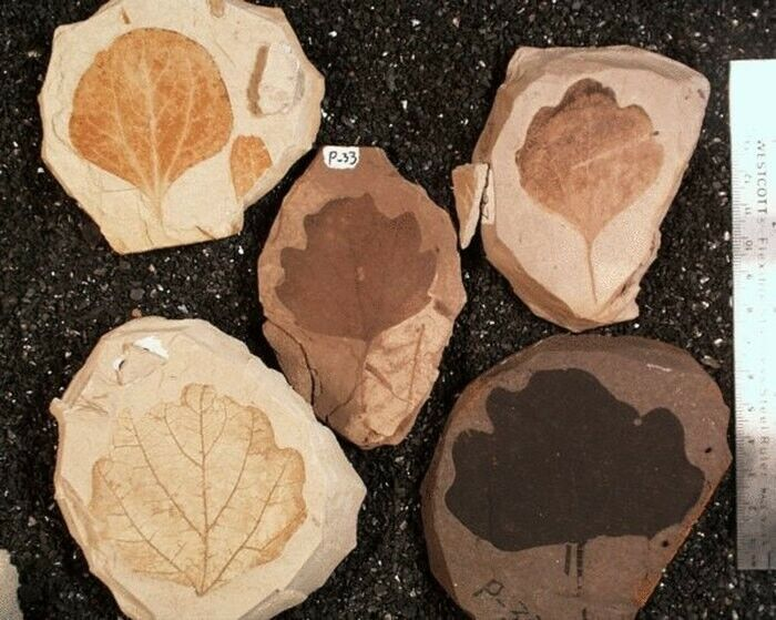 Miocene lagerstätte REAL Fossils - 15 million year old plant/insect/other life