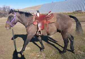 Tennessee Walking Horse cross Curly Horse for Sale  Regina Regina Area image 2