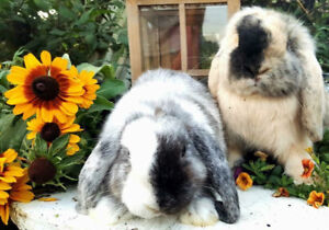 ISO harlequin or magpie holland lop
